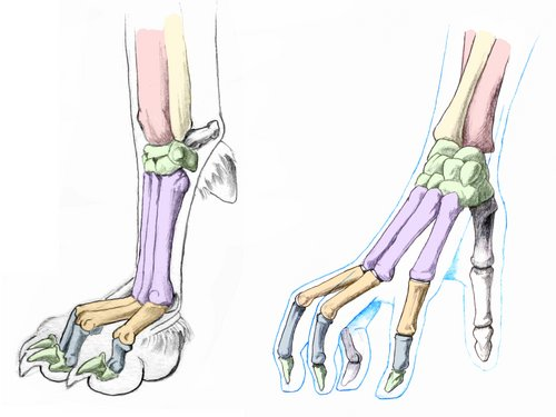 canine-front-paw-bones-compare